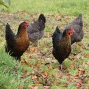 Our hens in the orchard
