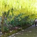 Bodnant Gardens laburnum arcg